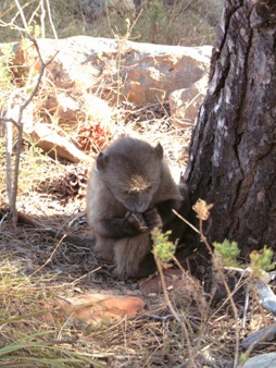 Very young baboon