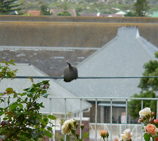 Guinea Fowl on the telephone wire