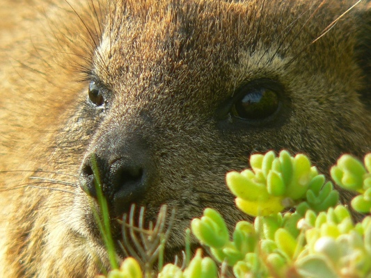 Close up of a Dassie at Cape of Good Hope-Cape Point Peninsula
