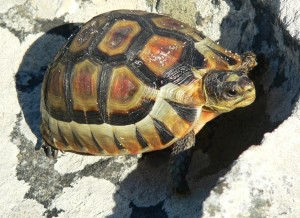 Cape Point Tortoises a potential target for poachers