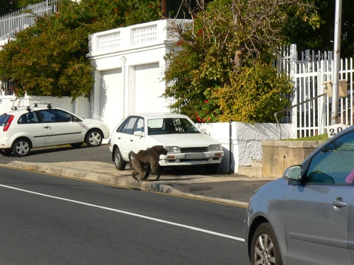 A large male baboon crossing Simons Town Road in Fish Hoek
