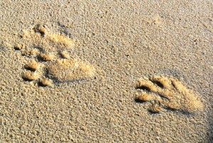 Cape Clawless Otter foot print on a Cape Point Peninsula Beach