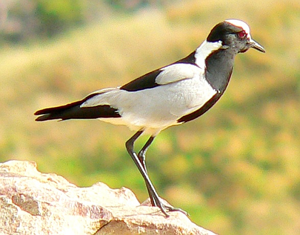 Profile of a Blacksmith Lapwing (plover)