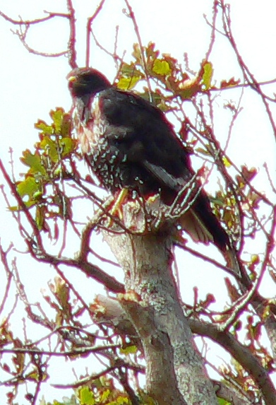 Steppe Buzzard sat in an oak tree