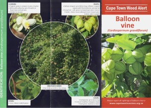 The Cape Town Invader Species Unit leaflet on Balloon Vines- an invader species