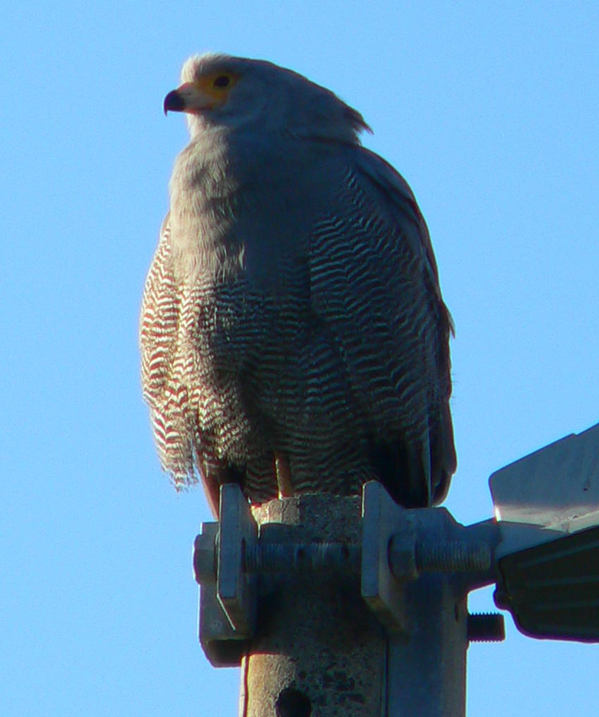 A new visitor to the garden- African Harrier Hawk