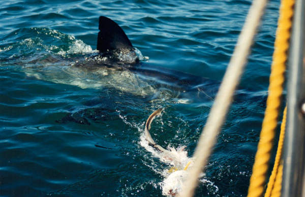 Great White Sharks Season- the best time to go Cage Diving